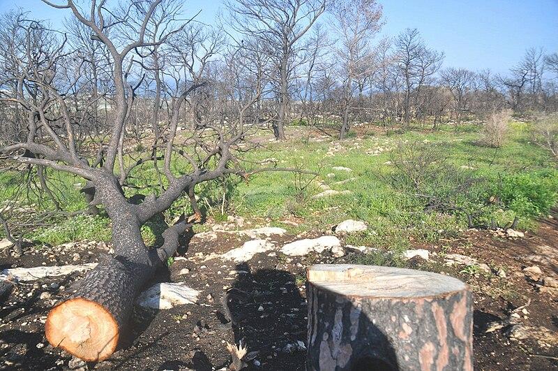 עץ שרוף וכרות
