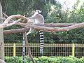 PikiWiki Israel 33155 Ring-tailed lemur in Zoo-Botanical Garden Nahariya.JPG