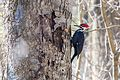 Pileated Woodpecker (Dryocopus pileatus) (25691081134).jpg