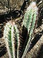 Pilosocereus leucocephalus (palmeri) (5762472614).jpg