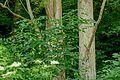 Pimpernussbaum 2273.jpg