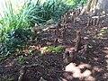 Pinales - Taxodium distichum 3.jpg