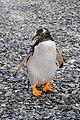 Pingüino Papúa.jpg