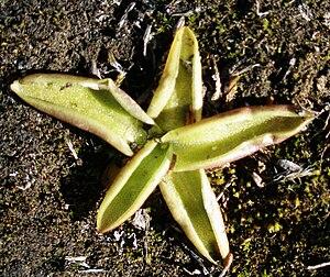 Pinguicula vulgaris - Pinguicula vulgaris near Mývatn, northern Iceland