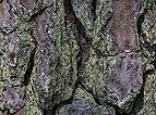 Pinus palustris bark 30 NBG LR.jpg