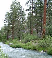 Pinus ponderosa subsp benthamiana Susan River.jpg