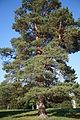 Pinus sylvestris blue.jpg