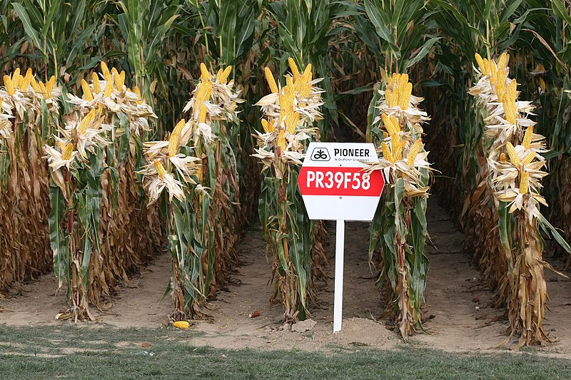 File:Pioneer maize PR39F58.jpg