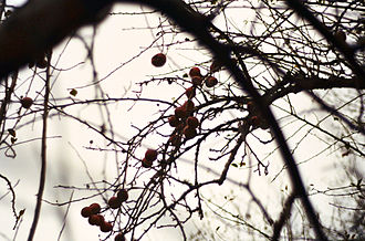 Piper Orchard - Fruit on hawthorn tree