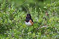 Pipilo erythrophthalmus alleni, Lake Wales, Florida.jpg