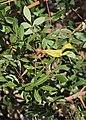 Pistacia terebinthus - Baizongia pistaciae 20180810a.jpg