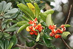Pittosporum tobira Fruits.jpg
