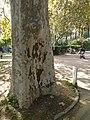 Plàtan - arbre d'interès local - Jardins de Vil·la Amèlia P1280075.jpg