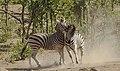 Plains zebra (common zebra or Burchell's zebra), Equus quagga at Kruger National Park, Limpopo, South Africa (48258301571).jpg