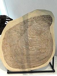 Platyceramus platinus with Pseudoperna congesta, Gove County, Kansas, USA, Late Cretaceous - Royal Ontario Museum - DSC00063.JPG