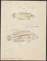 Platyglossus bivittatus - 1700-1880 - Print - Iconographia Zoologica - Special Collections University of Amsterdam - UBA01 IZ13900086.tif