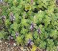 Plectranthus arabicus 05 ies.jpg