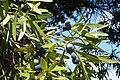 Podocarpus elatus foliage & cones.JPG