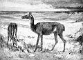 Poebrotherium.jpg