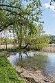 Poertschach Halbinselpromenade Landschaftspark Trauerweide 03052016 1879.jpg