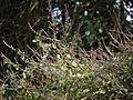 Pogostemon paniculatus (Willd.) Benth. (15583871313).jpg