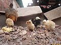 Pollo frente a su madre en el jardin 06.JPG