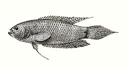 Polyacanthus cupanus Francis Day (1878). The Fishes of India. Volume 2