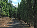 Polyalthia longifolia lines.jpg
