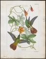 Polytmus riefferi - 1820-1860 - Print - Iconographia Zoologica - Special Collections University of Amsterdam - UBA01 IZ19100185.tif