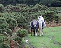 Ponies on Crownhill Down - geograph.org.uk - 252441.jpg