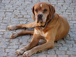 Portuguese pointer 11yo.jpg