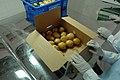 Potatoes being packed in eastern Afghistan.jpg