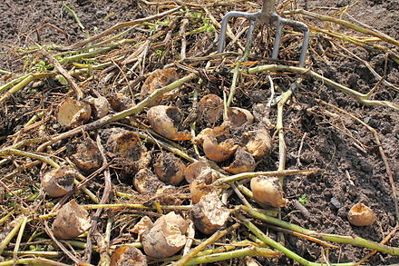 Rodents cause significant losses to crops, such as these potatoes damaged by voles. Potatoes feeding damage HC1.JPG