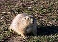 Prairiedogwikialpha.jpg