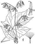 Prenanthes altissima BB-1913.png