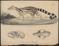 Prionodon abyssinica - 1700-1880 - Print - Iconographia Zoologica - Special Collections University of Amsterdam - UBA01 IZ22400155.tif