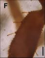 Procheiridium judsoni holotype Fig1 F.png