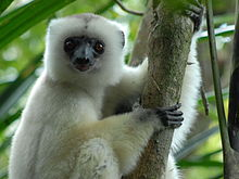 Three images of silky sifakas: First (left) of mother clinging vertically to small tree with two infants holding on to her chest; second (upper right) of adult turning head to look at camera; and third (bottom right) of adult beginning leap from one tree to another, with one hand extended in the direction it is moving