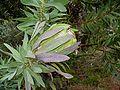 Protea coronata flower.jpg