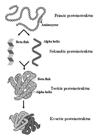 hur är protein uppbyggt