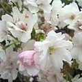 Prunus Amanogawa zoom-in.jpg