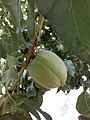Prunus armeniaca, unripe apricot fruit - άγουρο βερύκοκο.jpg