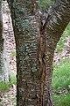 Prunus avium in Eastwoodhill Arboretum (1).jpg
