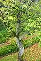 Prunus cerasifera - Jardim Botânico da Universidade de Coimbra - Coimbra, Portugal - DSC08904.jpg