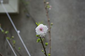 Prunus japonica - A blossom