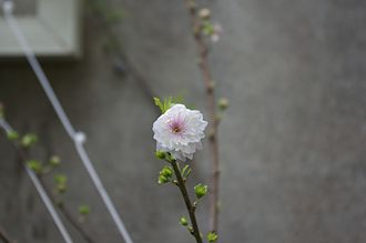 Prunus japonica - A blossom