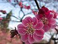 Prunus mume f. pleiocarpa (flower).jpg
