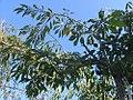 Prunus subhirtella Pendula 0zz.jpg