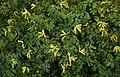 Pseudofumaria lutea A.jpg