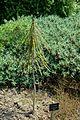 Pseudopanax ferox - Savill Garden - Windsor Great Park, England - DSC05970.jpg